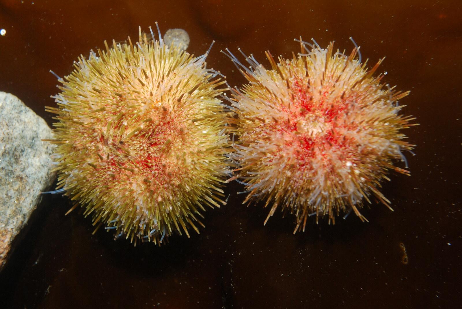 Морской еж цветок фото