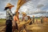 На уборке урожая. Мьянма, ноябрь 2015