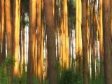 Город моего детства. Сосновый лес рядом с домом, где я жил.
